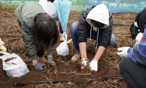安納芋の収穫体験