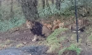 ライオンを発見!